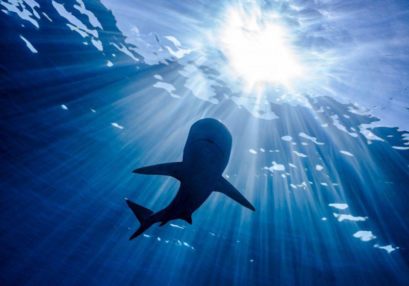 WWF-Analyse: Österreich ist weltweit fünftgrößter Importeur von frischen Hai-Filets